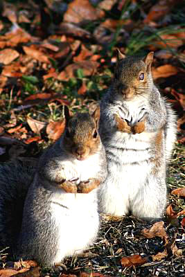 Blind squirrel and friend - December 2008
