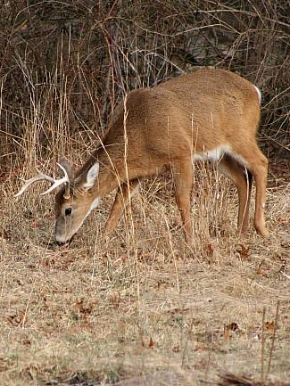 March 2008 Whitetail buck