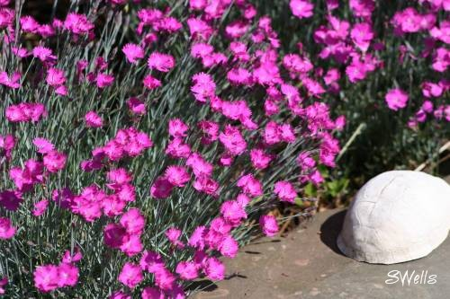 Tall variety of Pinks and turtle shell in Sue's rock garden
